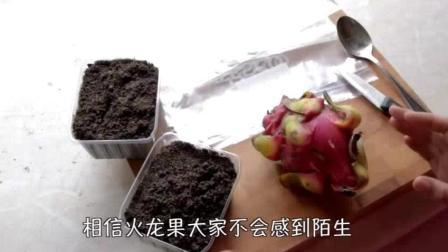 毁三观~火龙果盆栽种植原来这么容易 以后再也不让妈妈买火龙果了