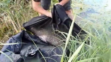 钓鱼: 这大草鱼, 都不知道他是怎么弄上来的!