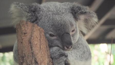 澳大利亚刚出生的考拉宝宝叫坚果, 害羞的死死抱住妈妈不松手!