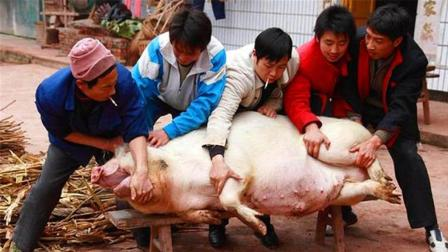 """农村老人一直说: 杀牛杀猪的人都是""""穷人"""", 你知道为什么吗?"""