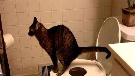 这些猫成精了, 非常爱干净, 自己站马桶上方便