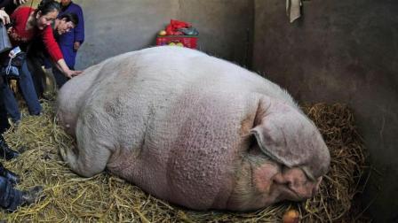 如果一头猪一辈子不杀, 一直养会有多大? 说出来吓死你
