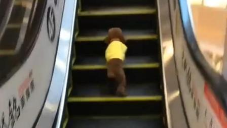 小泰迪逛商场, 被这一举动笑喷了, 这才明白什么叫速度!