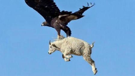 凶猛的老鹰胃口真大, 比它大的山羊都不放过, 罕见的一幕