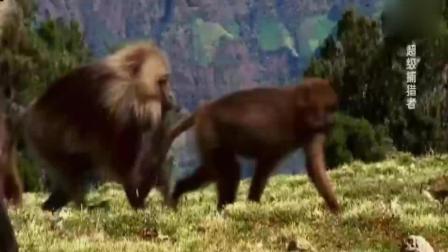 整个狒狒族群遭遇到了一群雄性狒狒的入侵霸占整个家族,