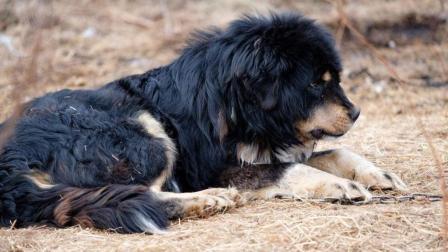 世界上最凶猛的狗, 与藏獒打架从没输过, 对人绝对忠诚!