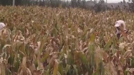 甘肃古浪县农村辦玉米, 真实的农村生活