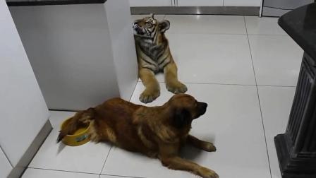 把老虎跟狗一起养, 长大后的老虎成了这怂样