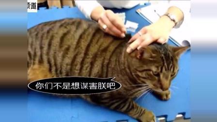胖胖的猫星人患哮喘, 被主人送去针灸治疗, 很享受