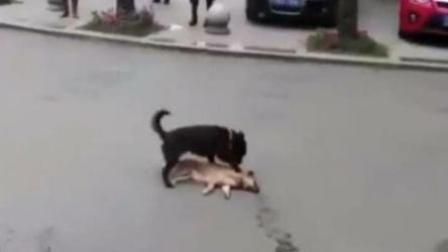 小狗过马路被撞亡 同伴拍打试图唤醒