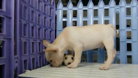 红法斗牛犬图片及价格 一只英国斗牛犬多少钱 法国斗牛犬幼犬购买