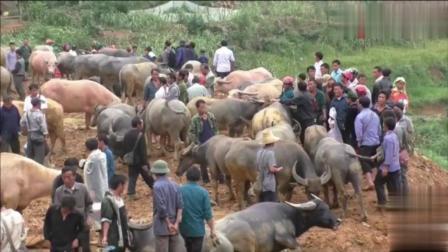 中国人去越南, 实拍越南农村的水牛交易市场, 一头牛4000元就卖了