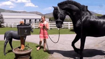 美女把自家的宠物马带到小马面前, 油光蹭亮的, 一看就是好马