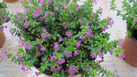 花店老板不愿说, 满天星的正确种植方法, 花朵如豆每朵5瓣!