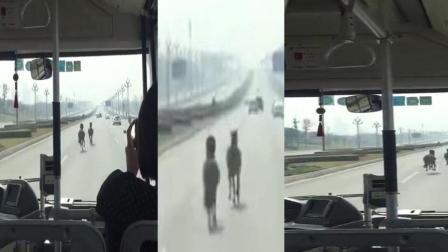 两匹马在路上飞奔   网友: 这是在私奔?
