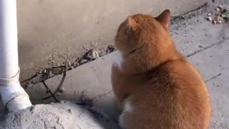 路边看到一只橘色的秋田, 回头一看, 原来是橘猫啊