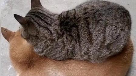 小的时候你就这样睡在狗子身上, 现在这么胖了你能不能别压上去
