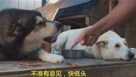 不和别的狗狗一起训练, 是不知道二哈的智商到底多低的!