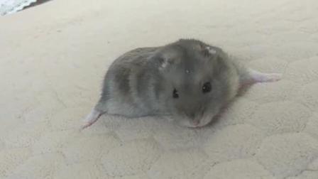 吃播实验: 当你的仓鼠吃了跳跳糖后, 主人悲剧了