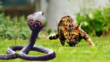 揭秘! 猫蛇大战, 为什么你家猫咪可以把毒蛇按在地上摩擦