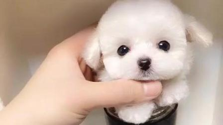 太可爱了, 我的茶杯犬, 萌化你的心了吗
