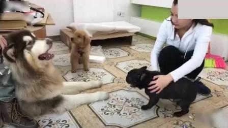 这才是真正的狗仗人势, 法斗犬: 放开我, 我要咬死它