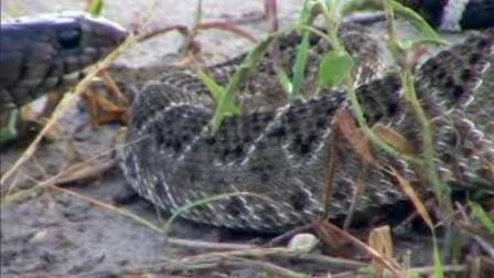 在外面突然拍到一条黑蛇与一条花蛇打架, 场面非常激烈