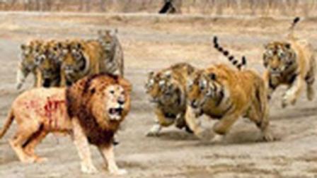 经典动物世界大战! 狮子、老虎最凶残