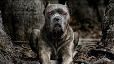 世界十大禁养犬, 每一种都伤人无数, 见到这些狗躲远点