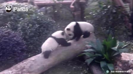 两只熊猫宝宝在树上打起来了