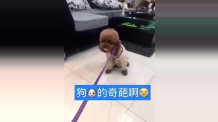"""全世界最聪明的泰迪, 不把自己当狗, 它叫""""崽崽""""!"""