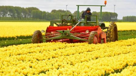 人力不足机械来凑, 结果荷兰收割机采来的花比人采来的好千倍!