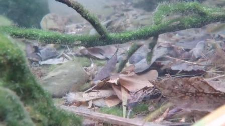 7天造景 日本冲绳三斑矮鰕虎鱼