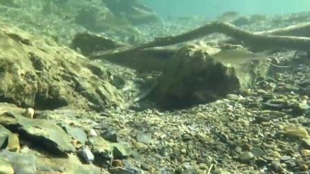 7天造景 紫身枝牙虾虎Stiphodon atropurpureus