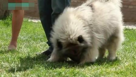 马犬注意力训练方法 怎么样训练狗狗趴下 幼犬训练的最佳时间