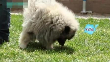 泰迪训练20多种动作 训狗的口令及手势图解 怎样让小狗听话