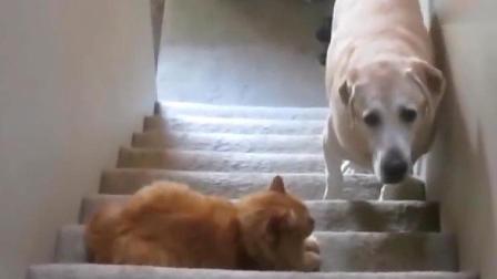 那些怕猫的狗, 就像怕老婆的男人一样