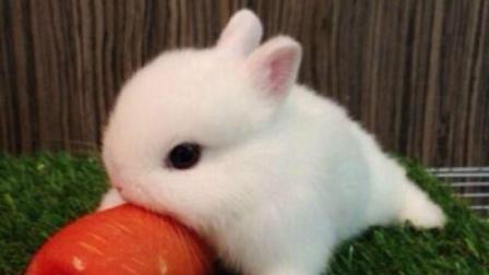 为什么给兔子一喝水就会死? 难道兔子不渴吗? 看完涨知识了!