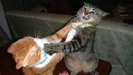 猫咪之间为什么打架? 五种猫咪打架的原因, 你都知道吗