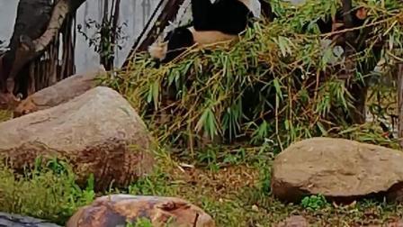 这熊猫吃的那么胖, 还在吃, , 超级可爱