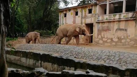 大象出来洗洗雨澡就回去了, 小象兴奋的跳舞跳了半个小时了! !