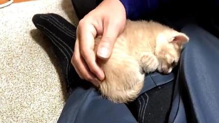 小奶猫必须在主人怀抱才睡觉, 睡醒发现不在还会自己回去