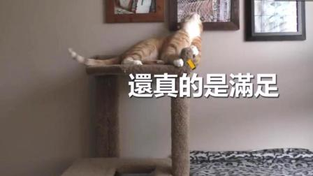 橘猫躺在猫架上舔毛, 一转头却把自己吓得目瞪口呆