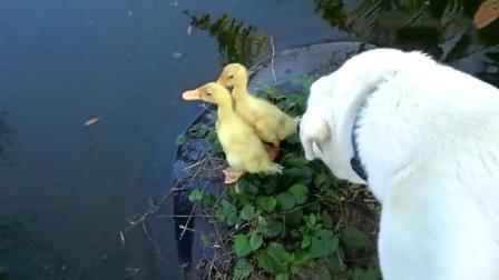 狗狗多管闲事把小鸭子推下水, 笑岔了!