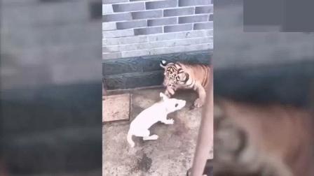 牛头梗掉进虎窝, 气势不减张口就咬, 揍得两只老虎落荒而逃!