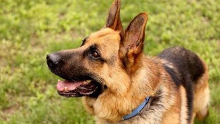 全球最聪明的五种犬种, 德国牧羊犬仅排第三, 你家狗狗上榜了吗