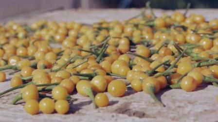 世界最贵的辣椒, 每公斤17万人民币, 种几颗就能买奔驰!