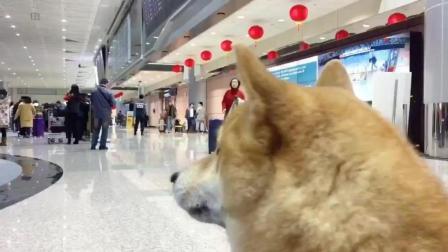带柴犬去机场接爸爸, 等了老半天终于接到, 瞧给它高兴的!