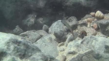 7天造景 宿雾黄瓜虾虎鱼Sicyopus cebuensis