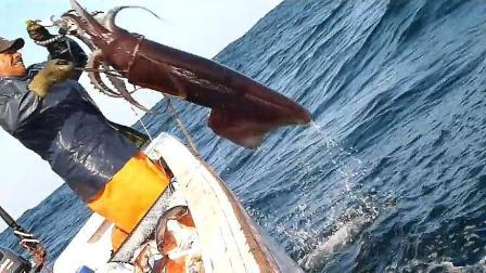 手钓超级大鱿鱼, 这一个可以吃上好几顿了!